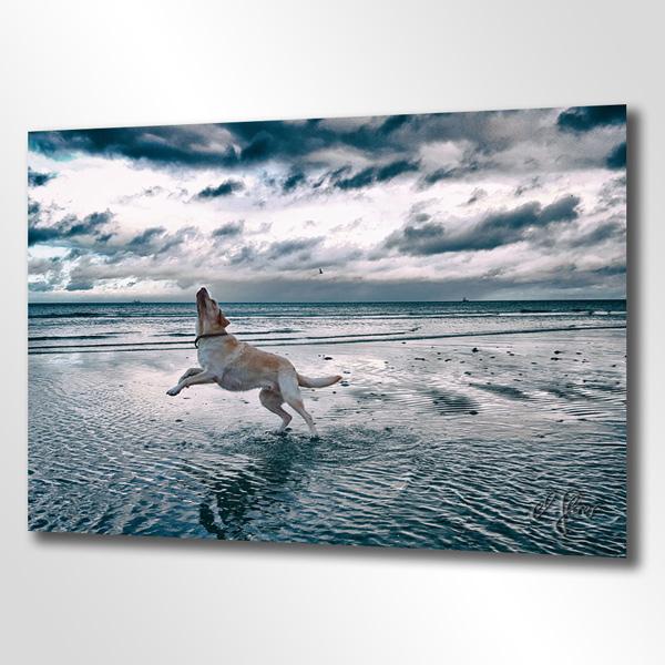Der verspielte Hund. Ein Golden Retriever tobt sich in seichten Watt bei Ebbe an der Ostsee aus. Intuitive und nonverbale Kommunikation mit Tieren gehören zu den Spezialitäten von Schokografie.
