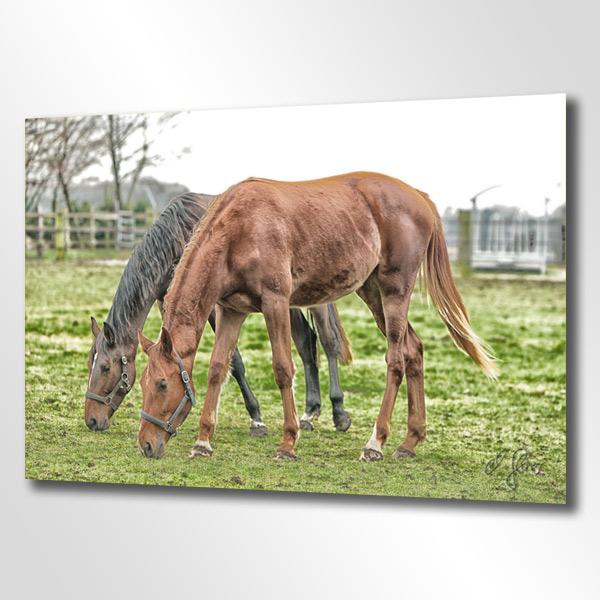 Friedlich grasende Pferde auf der Wiese an einem Gestüt. Hengst und Stute in geometischem Ensemble. Fotografiert von Tierfotograf Michael Glaser nahe der Grenze zu den Niederlande.